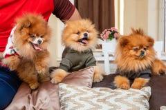 Perros de perrito de Pomeranian fotos de archivo