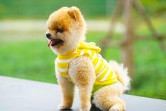 Perros de Pomeranian imágenes de archivo libres de regalías