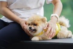Perros de Pomeranian imagen de archivo