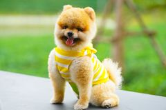 Perros de Pomeranian fotos de archivo