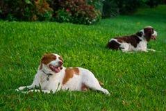 Perros de reclinación Fotografía de archivo libre de regalías