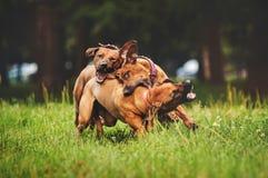 Perros de Rhodesian Ridgeback que juegan en verano imágenes de archivo libres de regalías