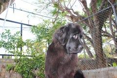 Perros de Terranova imagenes de archivo