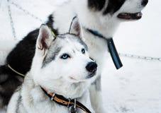 Perros de trineo Fotografía de archivo