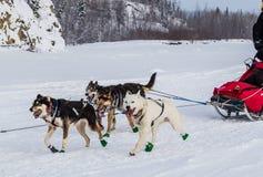 Perros de trineo de Iditarod imagenes de archivo