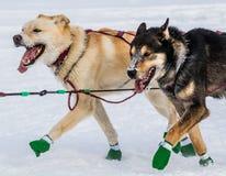 Perros de trineo de Iditarod imagen de archivo