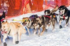 Perros de trineo de la búsqueda del Yukón Imágenes de archivo libres de regalías