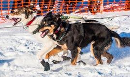 Perros de trineo de la búsqueda del Yukón Imagen de archivo libre de regalías
