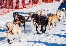 Perros de trineo de la búsqueda del Yukón Fotos de archivo libres de regalías