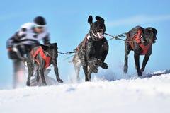 Perros de trineo en competir con de la velocidad Imagenes de archivo