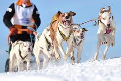 Perros de trineo en competir con de la velocidad Foto de archivo libre de regalías