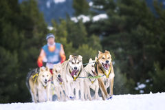 Perros de trineo en competir con de la velocidad Imágenes de archivo libres de regalías