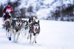 Perros de trineo en competir con de la velocidad Imagen de archivo