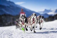 Perros de trineo en competir con de la velocidad Fotos de archivo