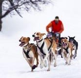 Perros de trineo en competir con de la velocidad Fotografía de archivo libre de regalías