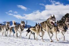 Perros de trineo en competir con de la velocidad Imagen de archivo libre de regalías