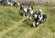 Perros de trineo en la acción Fotografía de archivo libre de regalías