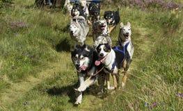Perros de trineo en la acción Fotos de archivo