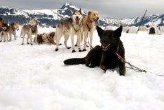 Perros de trineo en una rotura de resto Imagenes de archivo