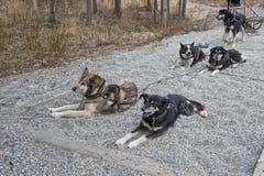 Perros de trineo enjaezados Foto de archivo