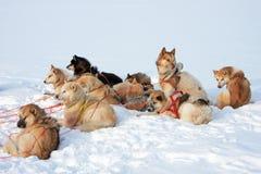 Perros de trineo groenlandeses Fotos de archivo libres de regalías