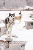 Perros de trineo que se colocan en el tejado de las casas de perro en invierno Foto de archivo