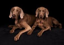 Perros de Weimaraner Imágenes de archivo libres de regalías