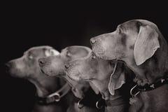Perros de Weimaraner que se sientan en la foto blanco y negro de la roca imagen de archivo