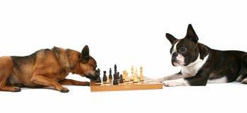 Perros del ajedrez Fotografía de archivo