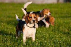 Perros del beagle Fotografía de archivo