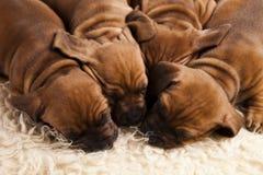 Perros del bebé Fotografía de archivo