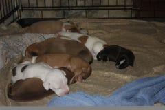 Perros del bebé Foto de archivo