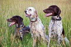 Perros del cazador Fotografía de archivo