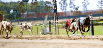 Perros del galgo en un sprint lleno Fotos de archivo libres de regalías