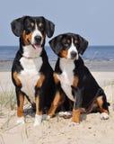 Perros del ganado de Entlebuch en el lado de mar Imagen de archivo libre de regalías