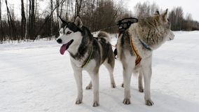 Perros del husky siberiano en arnés