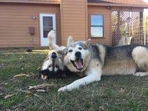 Perros del lobo en el juego Fotografía de archivo