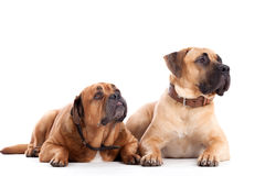 2 perros del mastín de Bull en blanco Imágenes de archivo libres de regalías
