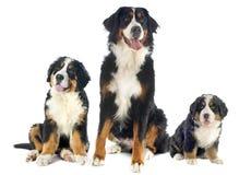 Perros del moutain de Bernese Imagen de archivo libre de regalías
