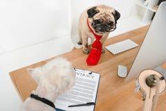Perros del negocio en oficina fotografía de archivo libre de regalías