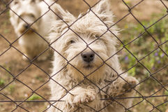 Perros del oeste de Terrier de la montaña. fotos de archivo libres de regalías