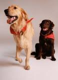 Perros del perro perdiguero Fotos de archivo libres de regalías
