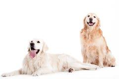 2 perros del perro perdiguero del golder Imagen de archivo