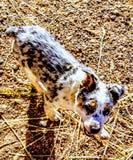 Perros del rancho Imagen de archivo libre de regalías