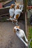 Perros del sabueso Foto de archivo libre de regalías