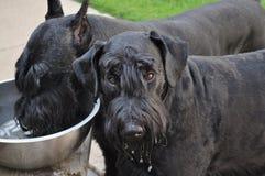 Perros del Schnauzer gigante que consiguen una bebida afuera Imagenes de archivo