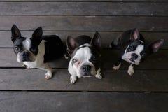 3 perros del terrier de Boston se sientan en el piso de madera y miran la cámara imagen de archivo libre de regalías