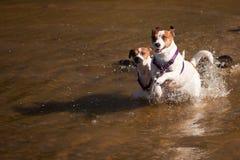 Perros del terrier de Gato Russell que juegan en el agua Imágenes de archivo libres de regalías