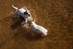 Perros del terrier de Gato Russell que juegan en el agua Fotografía de archivo libre de regalías