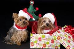 Perros del terrier de Yorkshire de la Navidad Fotografía de archivo